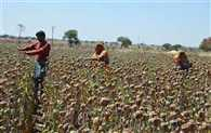 Sale of Doda poppy closed from today in Rajasthan