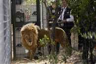 33 rescued circus lions arrive in South Africa in airlift