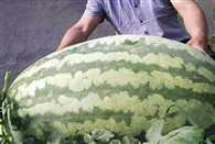 Farmer crowned melon king after cultivating enormous fruit weighing 176 pounds