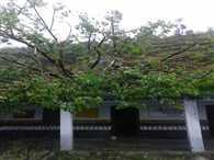 Tree Fallen At School, Children Safe