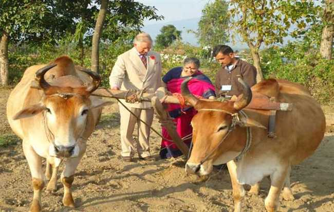 Oxen Connected With Prince Charles Not Found