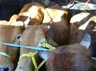 Animal smugglers attacked on police