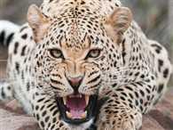 Leopard Kill Two Sister
