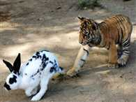 Tiger and lion cubs attack rabbits at a China zoo