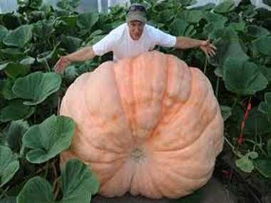 Giant pumpkins in Alaska