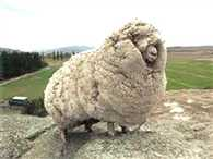 Lost Australian sheep yields nearly 90 pounds of wool