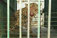 Leopard entered in farmer's house  was caught