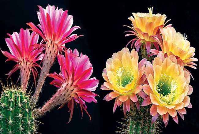 Flowers of Love in between Hooks of Jealousy