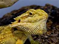 Climate change turning male dragon lizards into females