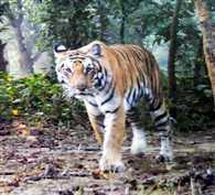 tiger lives till 20 years