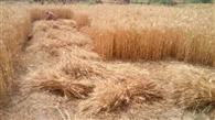 खेतों में खड़ा 'सोना' घर लाने की तैयारियां