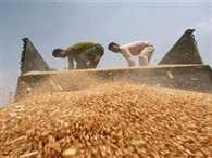 Wheat procurement falls to 21.73 mn tonne