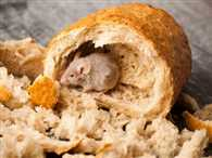 Alive rat in the sealed packet of bread at breakfast