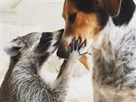 This Raccoon is on Instagram and Lives With Two Doggy Friends