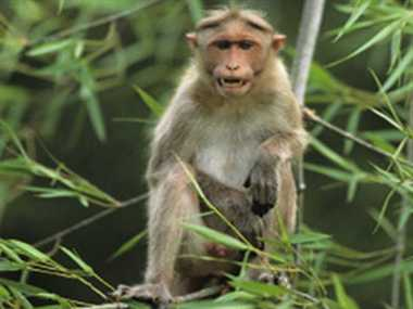Monkeys in Asia Harbouring Virus From Humans