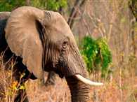 Elephant genes can stop cancer