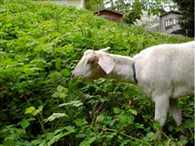 Goat and Owner of Goat Arrested for Grazing judge garden