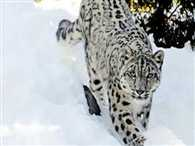 Snow Leopard secret open in the Cold desert
