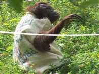 Chimpanzee design his own clothing