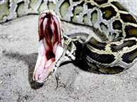 Gurgaon :Python Turned out in the Aravalli mountain