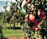सेब के बगीचों की सैर करेंगे पर्यटक