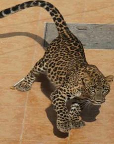हरियाणा के पिंजौर में घर में घुसा तेंदुआ, मुश्किल से आया काबू में
