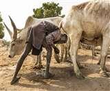 इन लोगों के लिए गाय है बहुत खास, करते हैं गौमूत्र से स्नान