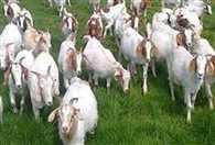 In Munger,  Haveli Kharagpur  goats swallowed 36 million