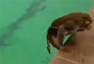professional swimmer monkey
