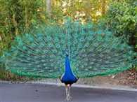 peacock should be under dangerous category