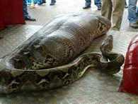 python swallowed a man in Kerala
