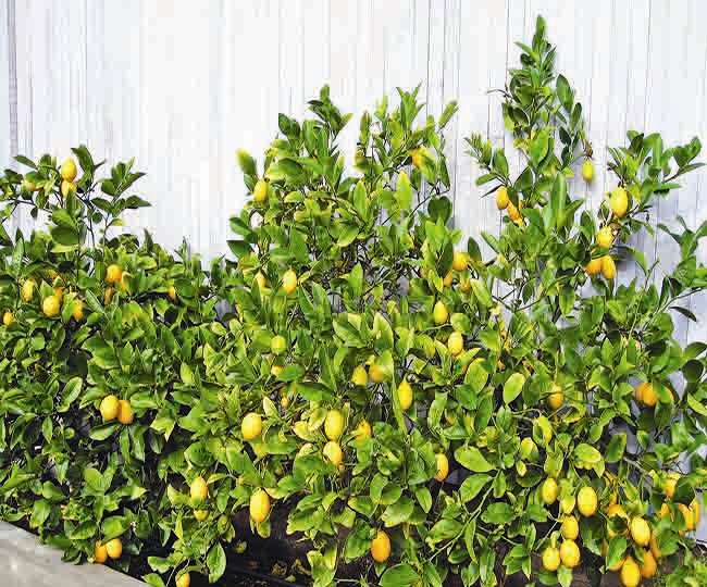 Lemon plant will increase the beauty of your garden