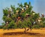 बेहद कीमती होता है मोरक्को की इन बकरियों का मल