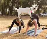 फिटनेस का नया मंत्र : बकरियों के खुर मसाज के साथ योगासन