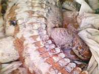 Mining mafia blast a crocodile by dynamite