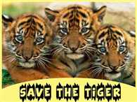 NCP engaged in politics on 'Save the Tiger'