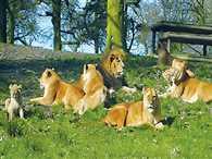 eight lions in lion safari