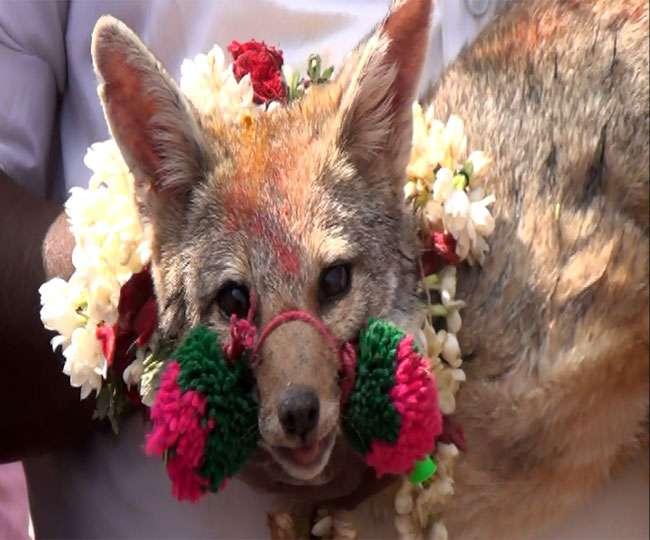 Jalikattu is palying with Fox in Salem - दैनिक जागरण