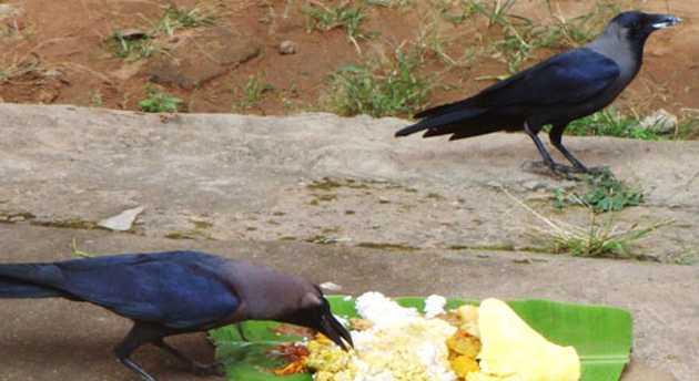 Image result for कौओं को भोजन दें
