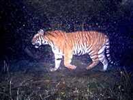 Tigress seen at jhilmil lake