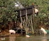 जानिये, आखिर क्यों यहां सुअरों को भी सिखायी जाती है तैराकी