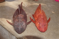 शिवगंगा तालाब में रंगीन मछली देखने उमड़ी भीड़