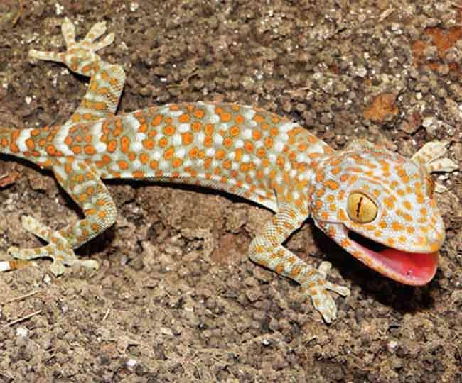Image result for दुर्लभ प्रजाति की टोके छिपकली