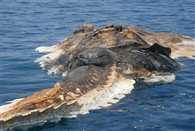 creature found in persian gulf