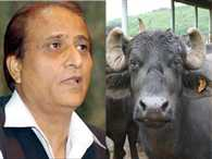 Azam Khan's five buffalo get VIP Treatment