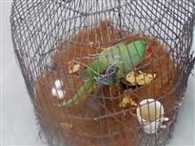 A Female Parrot Living Alone In The Cage From last Three Year Gave Eggs