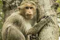 You Wont Believe How A Urinating Monkey Unknowingly Saved 30 Peoples Lives
