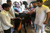 calf gives milk in Ghaziabad
