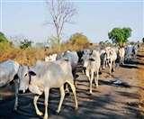 देसी गायों के संरक्षण की नीति बनाने में देरी नहीं करे केंद्र - एनजीटी