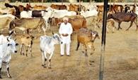 गोशाला में दो हजार गायों की हो रही देखभाल